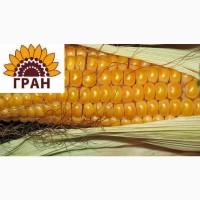 Пропонуємо насіння гібрид кукурудзи ГРАН 6 (ФАО 300)