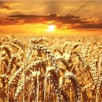 Закупка зернових культур