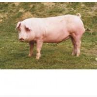 Реализуем свиней живым весом