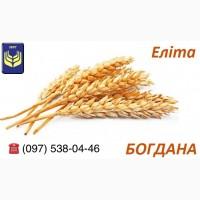 Семена пшеницы. Богдана элита. Мы производители. Документы. Высокое качество