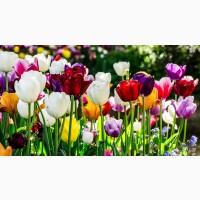 Насіння тюльпанів з голандії