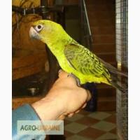 Конголезский ручной говорящий попугай