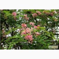 Саженцы : Акация клейкая (лиловая) Robinia viscosa