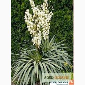 Вечнозеленые цветы юкка нитчатая