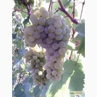 Продаю саджанці винограду Цитроний Магарача, Вінниця