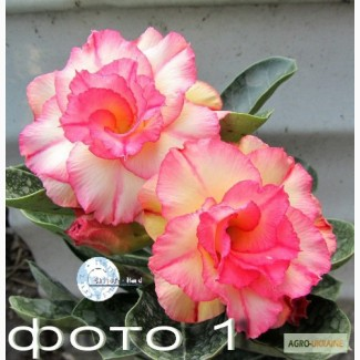 Продам излишки сеянцев адениумов обессум роза пустыни (махровые), Mini Size, арабикумы
