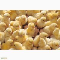 Цыпленок КОББ 500, испанка, редбро, мастер грей, ломан браун