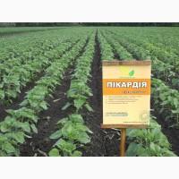 Семена подсолнечника Пикардия под Евро-Лайтинг от производителя