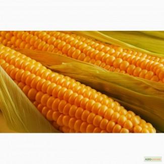 Кукуруза Амарок