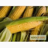 Продам Купить семена кукурузы Полтава ФАО 270