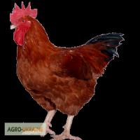 Суточные цыплята Фармколор ( аналог Авиколор) мясо-яичные