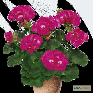 Продам квітучі вазони - пеларгонія, сульфінія, вербена, бакопа
