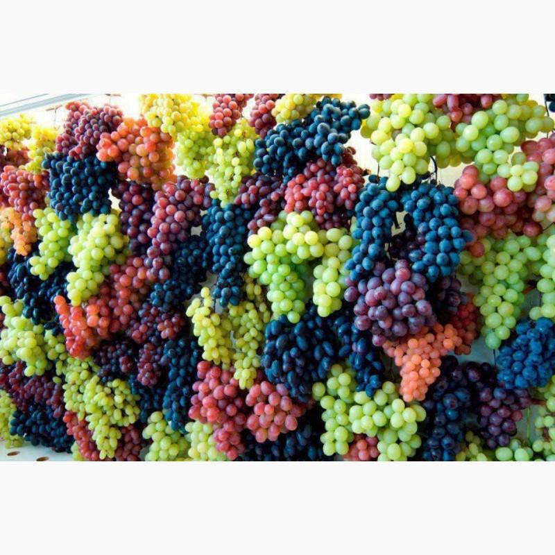 Продам виноград на вино и соки, Одесская обл.