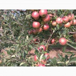 Допоможу загрузити якісні фрукти на експорт
