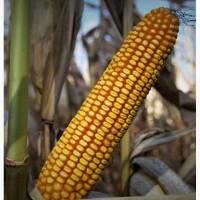 Кукуруза АС 33049 засухоустойчивый ФАО 260