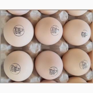 Яйця інкубаційні РОСС 308 з Польщі