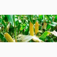 SEED GRAIN гібрид кукурудзи SG29N68