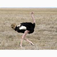 Продажа страусов, страусят, яйца страусов/Продаж страусів
