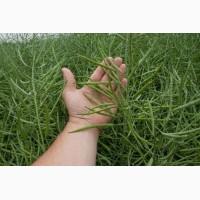 Продаємо насіння озимого ріпаку ГІБРИСЬОРФ