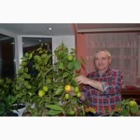 Продам садженці мандаринового дерева
