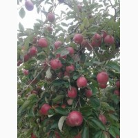 Продам яблука Слава Победителям