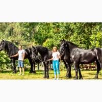Фризская лошадь всегда в наличии в Киеве