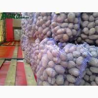Продам велику картоплю 10 тон