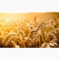 Куплю пшеницю оптом