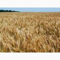 Продам насіння озимої пшениці Галліо (Probstdorfer Saatzucht, Австрія)