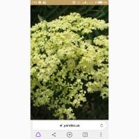 Купим цвет бузины и липы, сухой и свежесорваный
