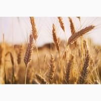 Продам посевной материал озимой пшеницы, сорт Лидия (с/элита)