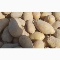 Оптовая база закупает картофель на посадку оптом. Потребность 300 тонн