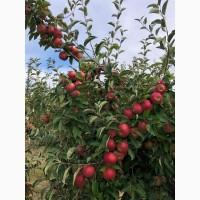 Продам яблука зимового сорту Айдарет