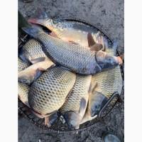 Покупаю рыбу живую от 1 тонны