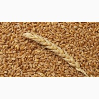 Куплю пшеницу 3 класс или фураж