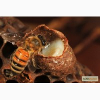 Маточное молочко пчелиное натуральное, отличное качество, быстрая доставка по Украине