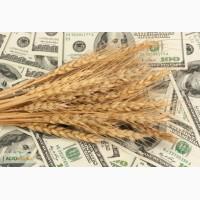 Продаем фуражное зерно с доставкой по Украине и на экспорт