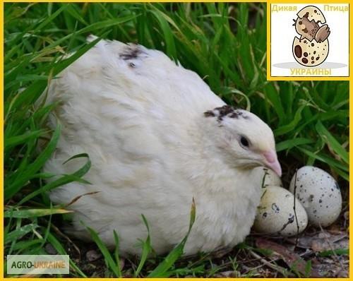 Фото 5. Яйцо инкубационное перепела Техасец - супер бройлер и молодняк