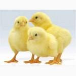 Цыпленок : Испанка, Реедбро, Мастер Грей, Бройлер
