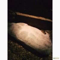 Продам свиню 160-180кг. Годована натуральним харчуванням 40гр кг