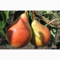 Продам саджанці груші щеплені на айві - бера літня і ноябрська