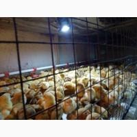 Продам суточных и подрощенных цыплят мясо яичных пород