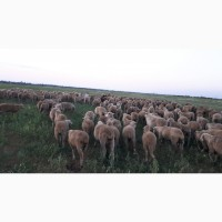 Срочно продам стадо овец Меренос-Асканийский 220 голов, Николаев