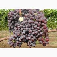 Оптовая продажа винограда столовых и винных сортов Юпитер на вино и изюм