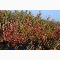 Продам саджанці лохини. Ціни від 40 грн за рослину (1, 2, 3, 4 річні) оптом та в роздріб