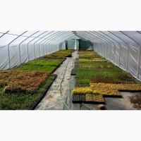 Саженцы декоративных растений в кассетах и мультиплатах с Польши