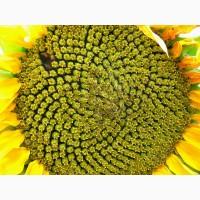 Насіння соняшнику гібрид Олівер/безкоштовна доставка