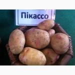 Куплю посадочный картофель сорт Пикассо