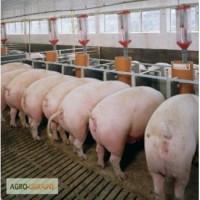 Продам мясних свиней