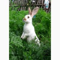 Продам кроликів, живою вагою та тушками